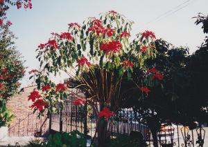 Poinsettia tree in Mexico